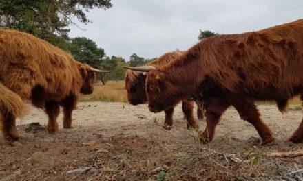 Naar de limousin runderen en Schotse Hooglanders van Crole Natuurrund