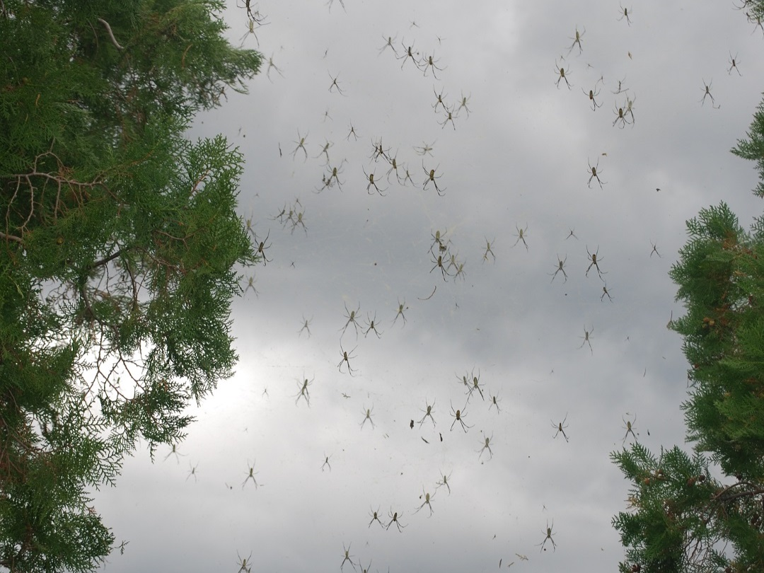 De spinnenbomen van Dali in China