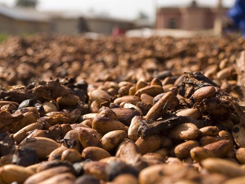 cacaobonen drogen - hoe wordt chocolade gemaakt - Eating Habits